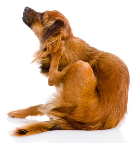 Krabbende hond